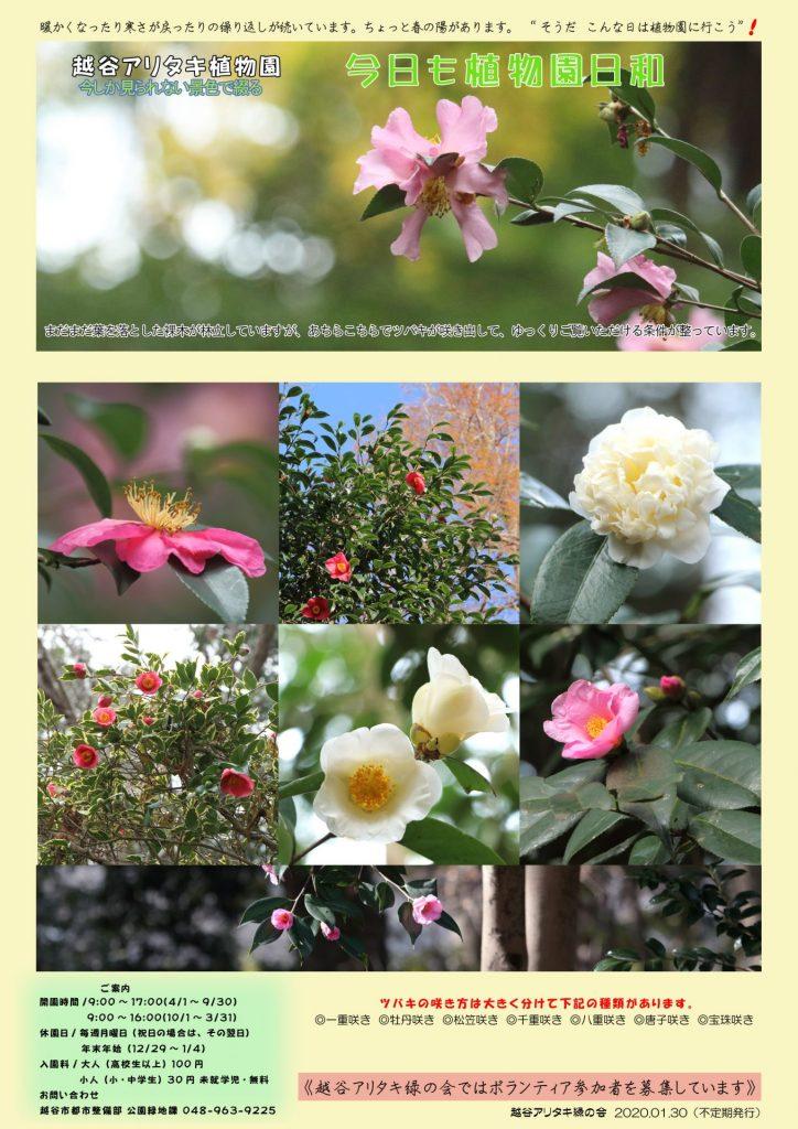 越谷アリタキ植物園1月:ツバキ咲き出す