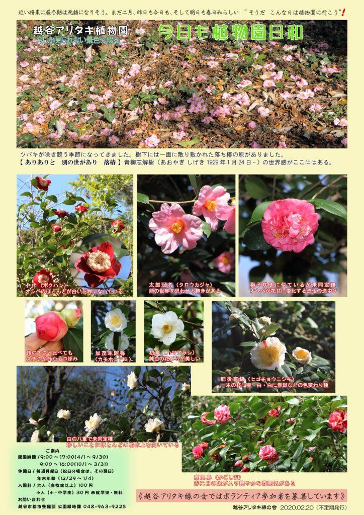 越谷アリタキ植物園2月:ツバキ咲き競う