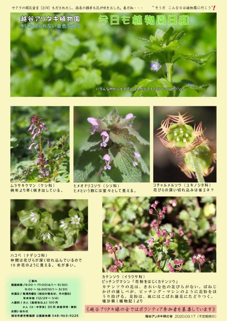 越谷アリタキ植物園3月:路肩の草の小さな花